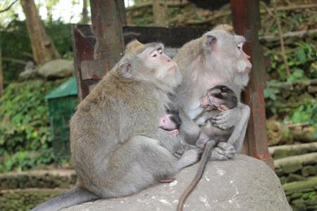 Fra apeskogen på Bali.